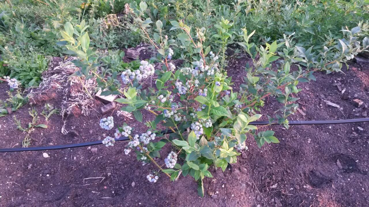 blueberry, buy blueberry, blueberry wholesale